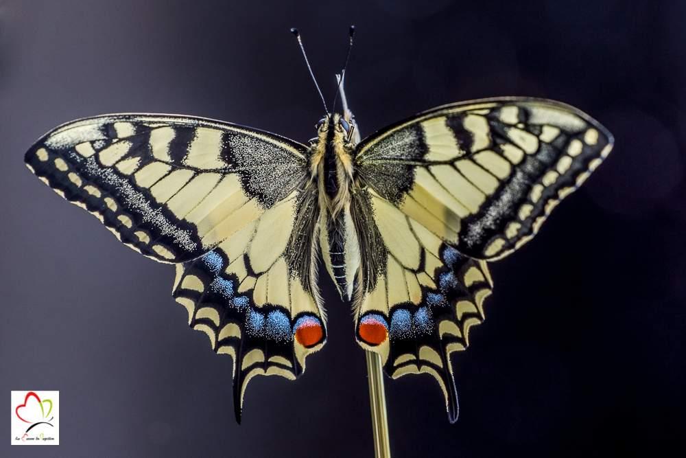 393598ac5 Elevage du papillon machaon - Chenille- Cycle de vie - Nourriture