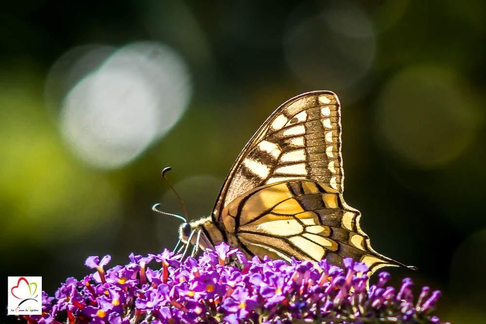 papillon machaon butinant sur un arbre à papillons (buddleia)